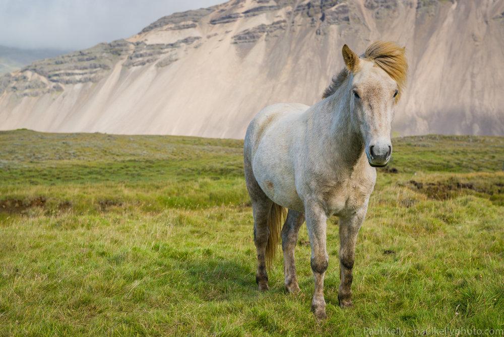 White Icelandic Horse.jpg