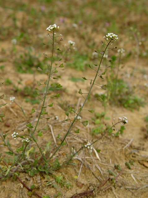 Capsella bursa-pastoris /Shepherd's purse
