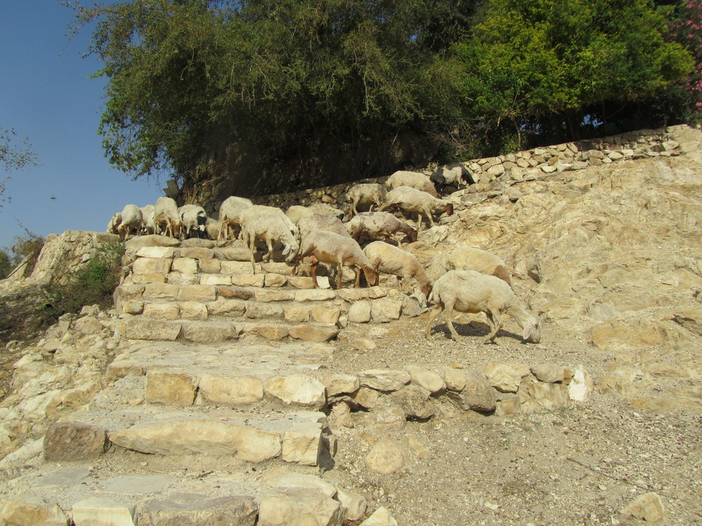 Desert Sheep on the Trail to the Wadi Kelt Spring
