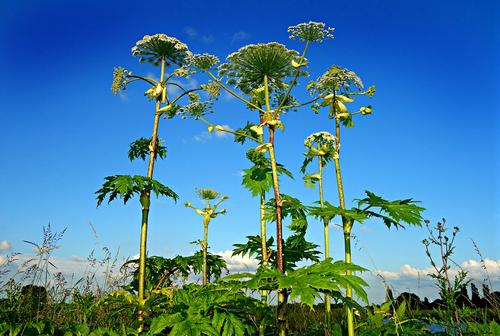 Giant Hogweed in my Head - by Andrea Schmidt