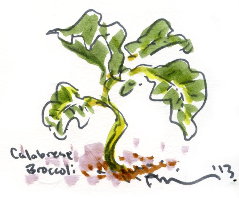 Calabrese-broccoli.jpg