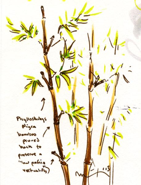 p-nigra-pruned.jpg