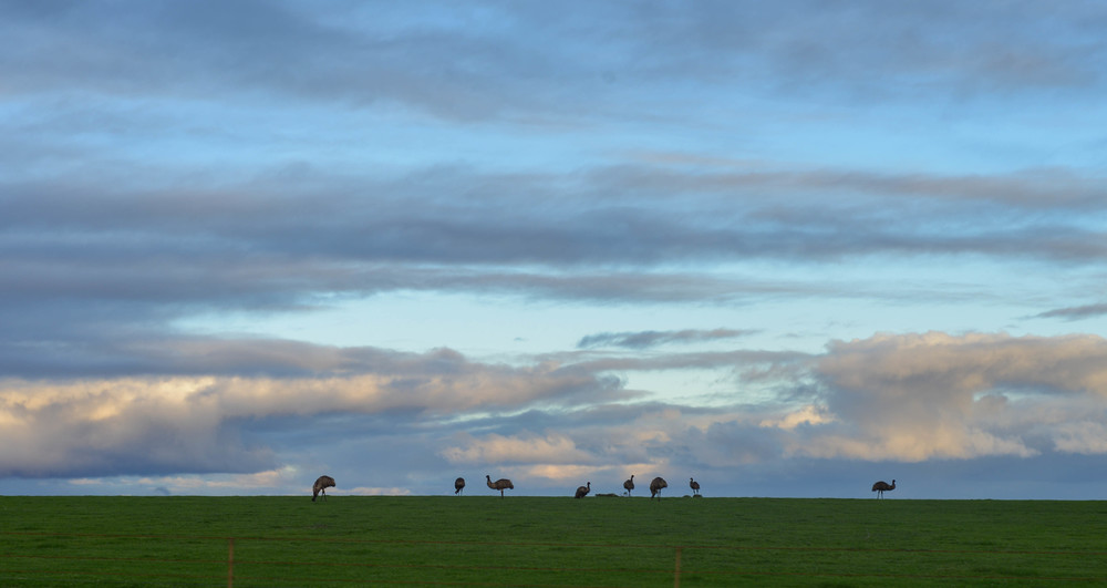 Emu's in South Australia.