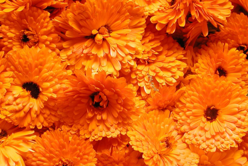 Beautiful-Calendula-Flower-7.jpg