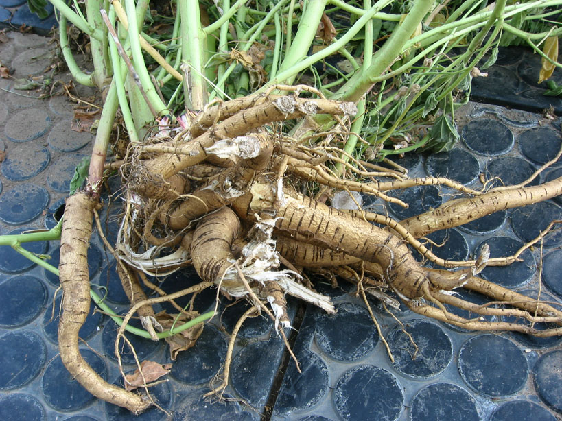 altheae officinalis root.JPG