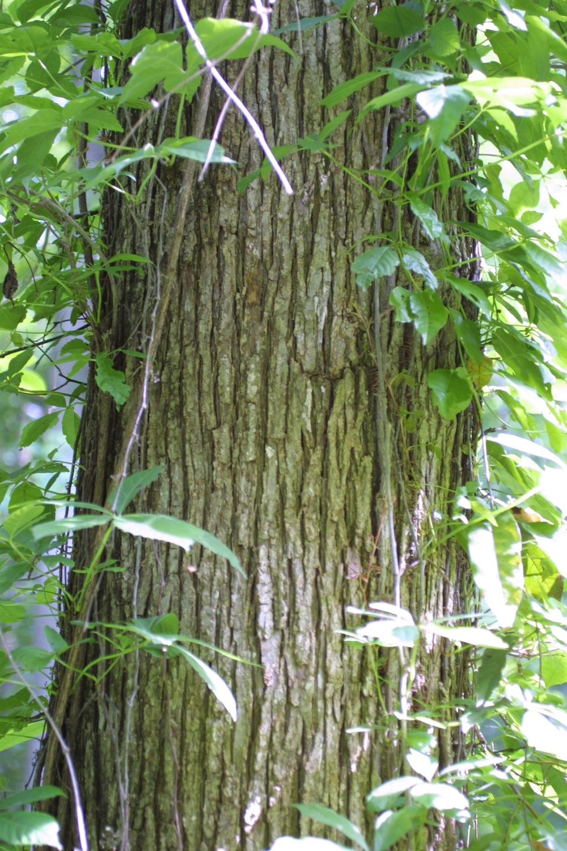 ulmus rubra bark.jpg