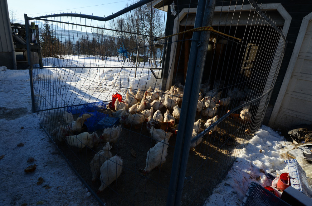 WWOOF Host Leikny had two groups of chickens on her farm; these were solely kept to sell for meat, whilst the others were allowed to live free range, their eggs collected on a daily basis for personal consumption.