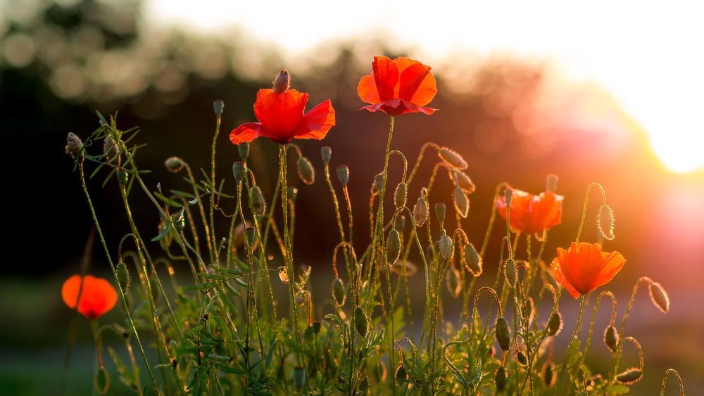 poppy lensflare bokeh makro sun summer sunshine sunset