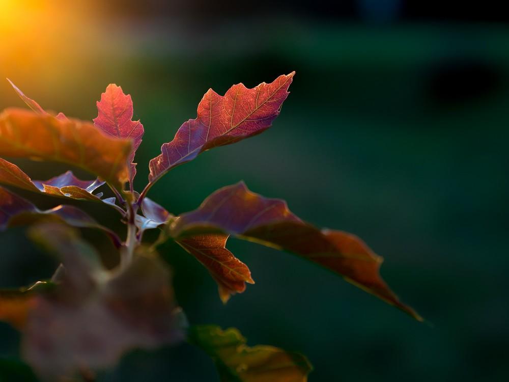 Sommerabend I - Summer sun bokeh makro leaves