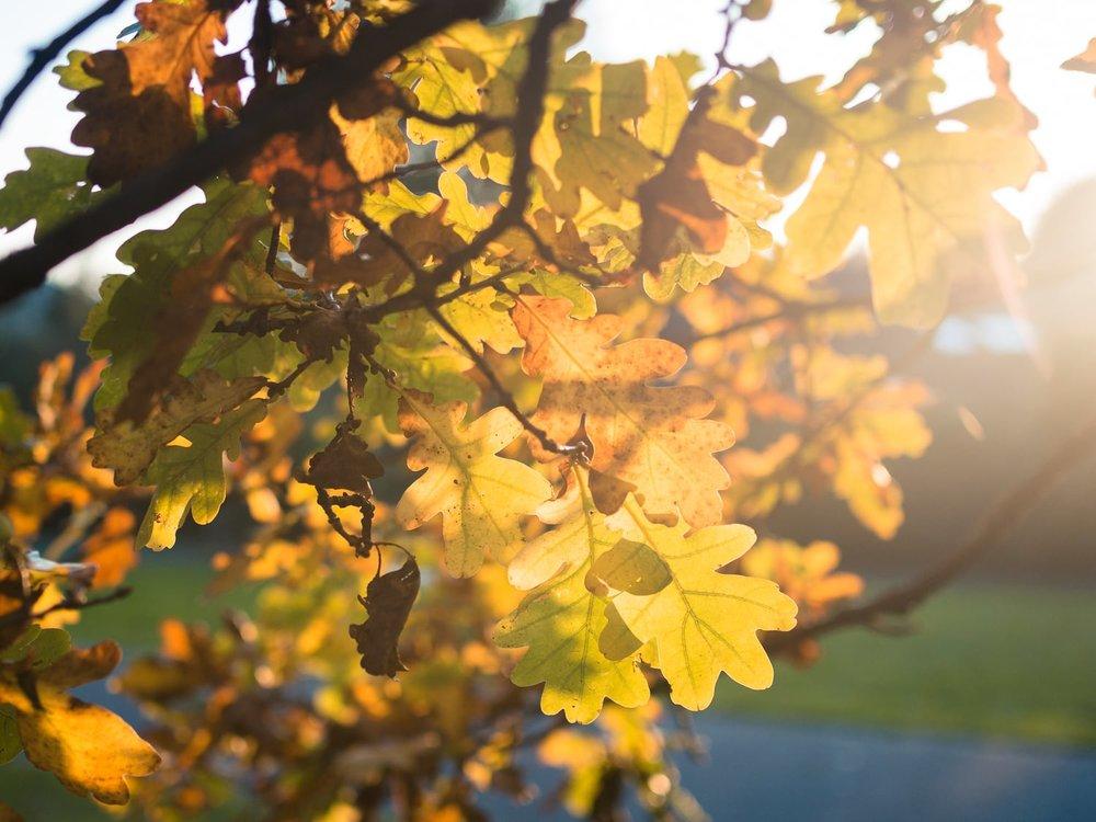 Herbstgold - Autumn Trees Leaves Bäume Blätter Herbst Gold Licht - 1608.jpg
