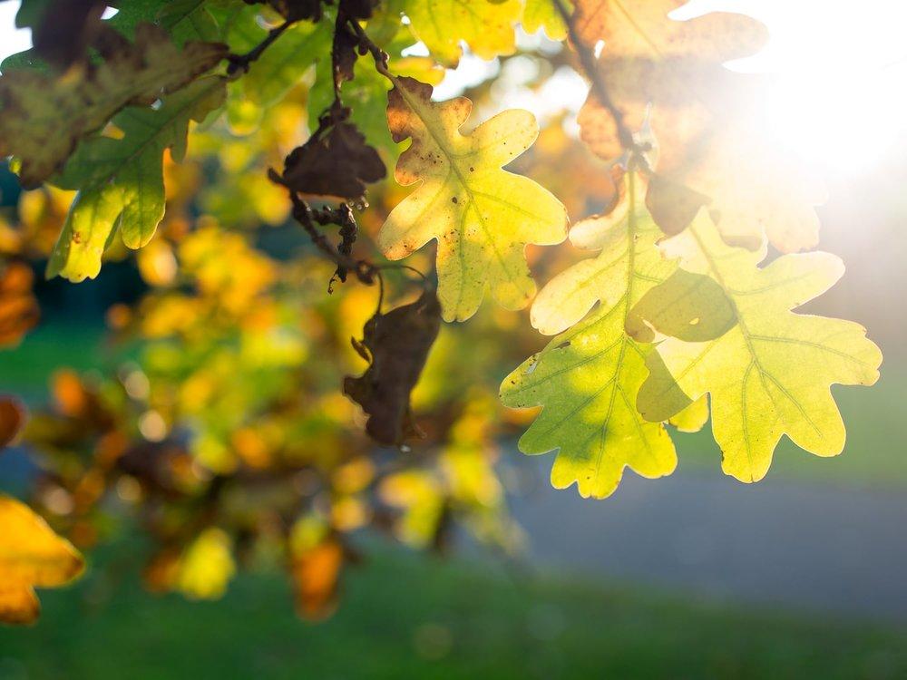 Herbstgold - Autumn Trees Leaves Bäume Blätter Herbst Gold Licht - 1609.jpg