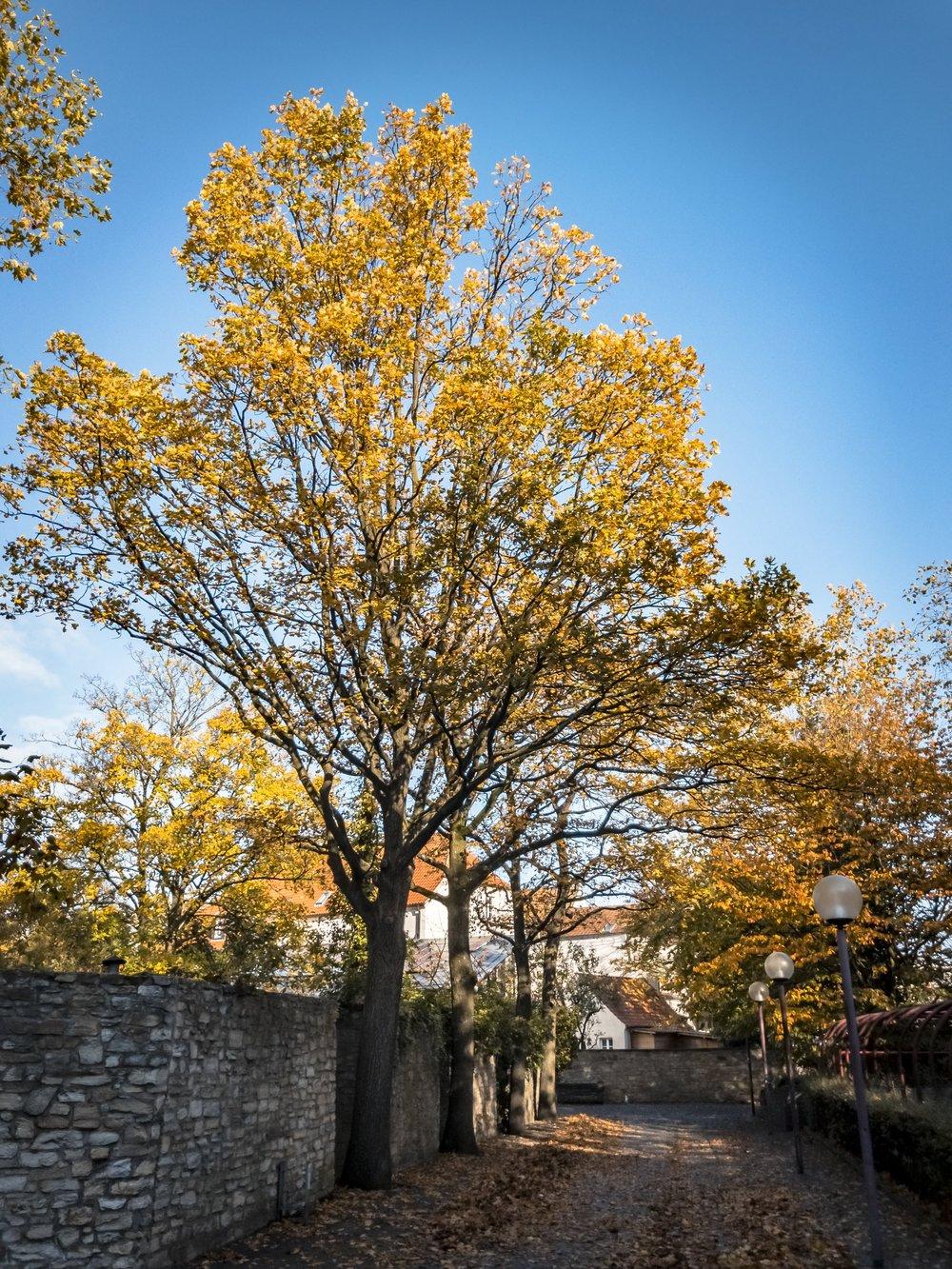 APC_0679-hdr-2 - Herbst ShotoniPhone Autumn Blätter Leaves Sun Sonne Light Threes Licht Bäume Baum Stadt Osnabrück.jpg