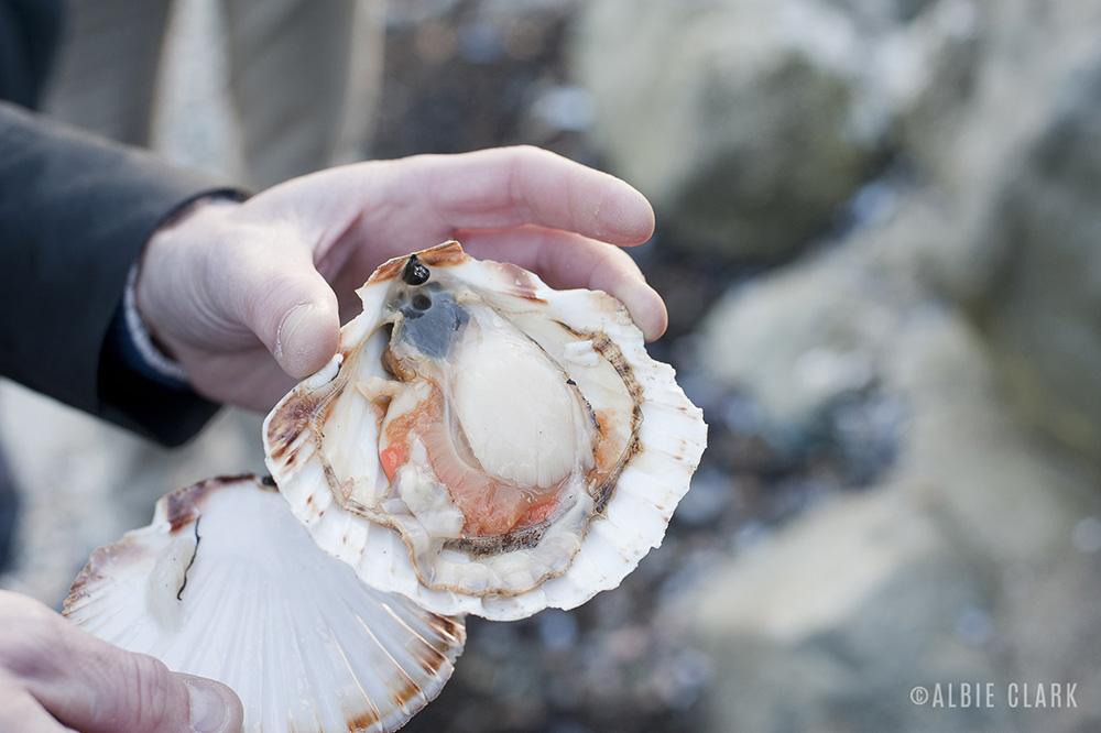 Mull scallop, hand-dived