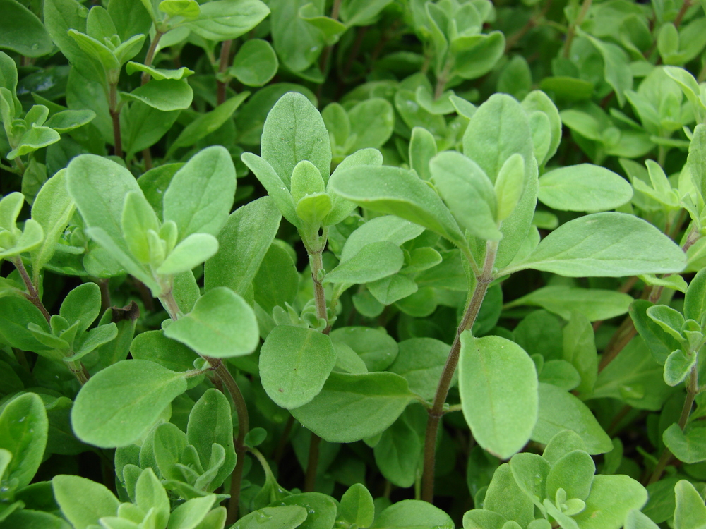 The fragrance of the common herb Marjoram can both stimulate and relax the mind, depending on dosage, and so it is ruled by Mercury.