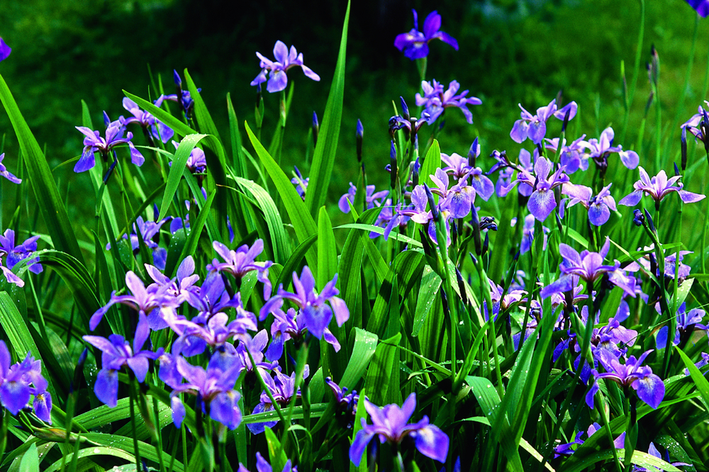 """Cold"" florals like Iris are ruled by the Moon."