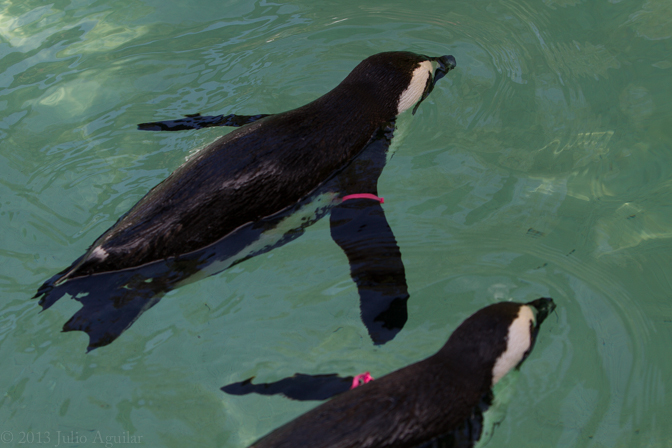 African Penguins. Tag placement on flipper distinguishes sex. The matching color tag means they are life partners.