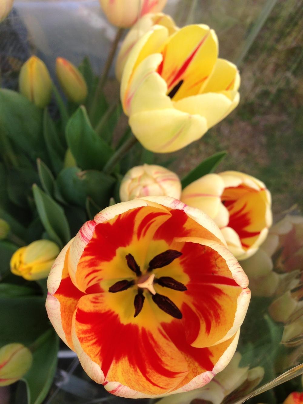 Tulips Ap2013 3.jpg