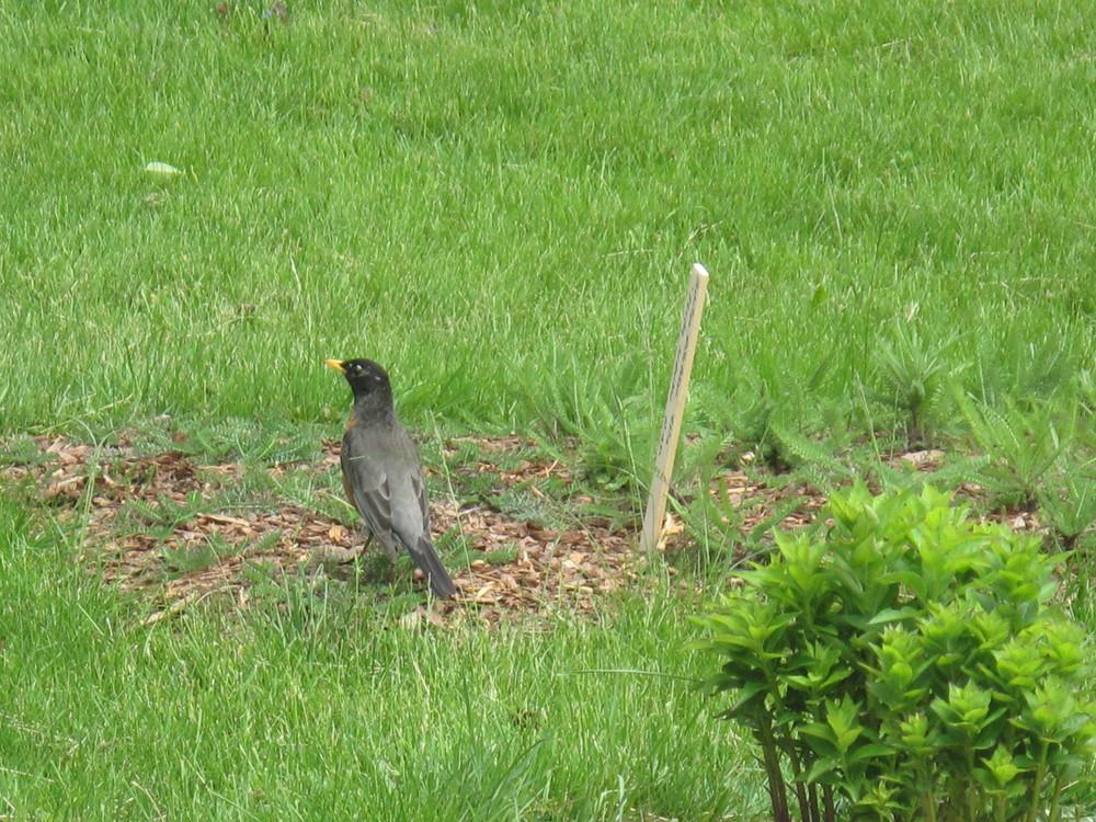 Robin in the Garden.JPG