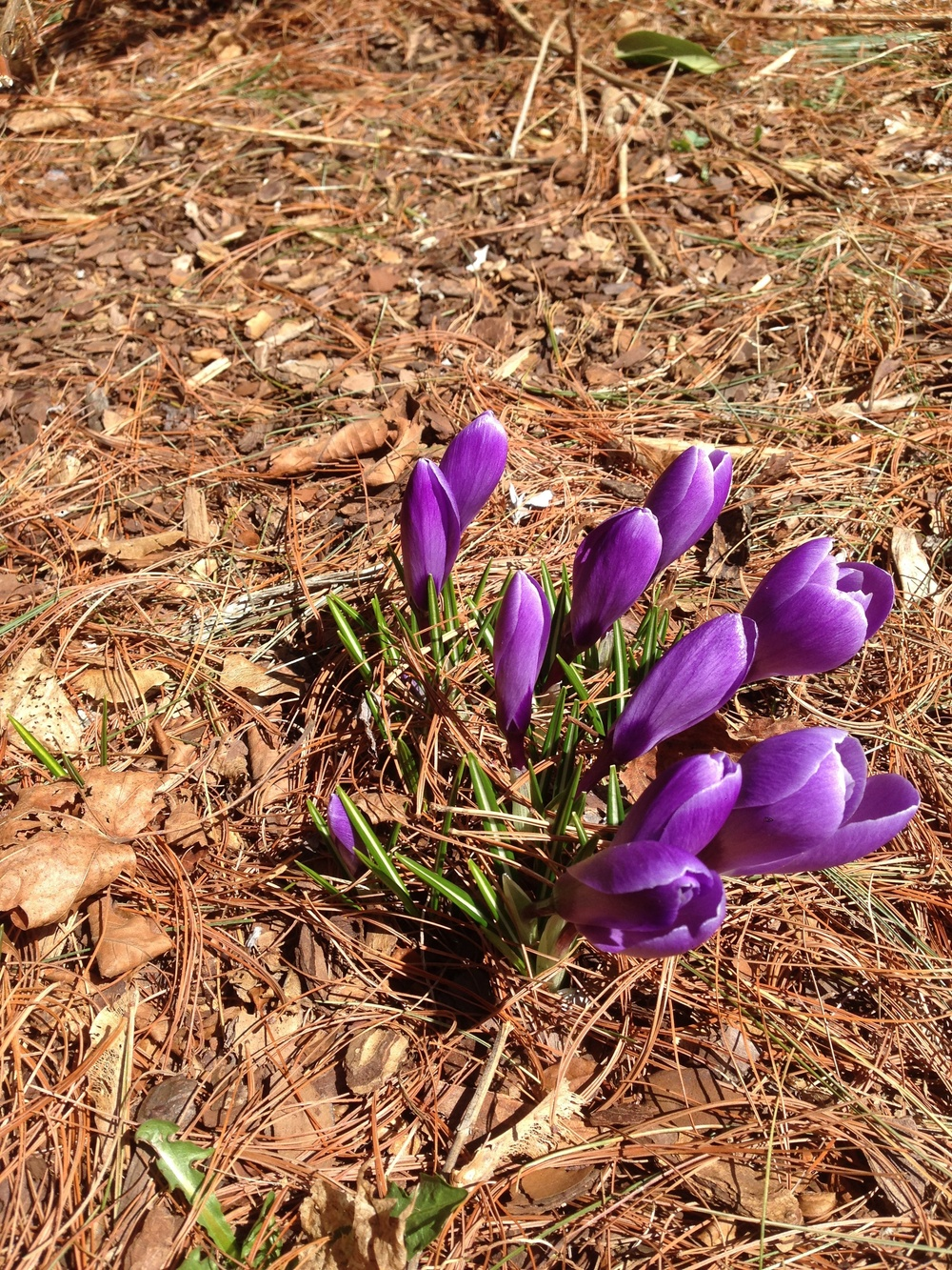 Purple Crocus!  Yes, we rock.  We know we do!