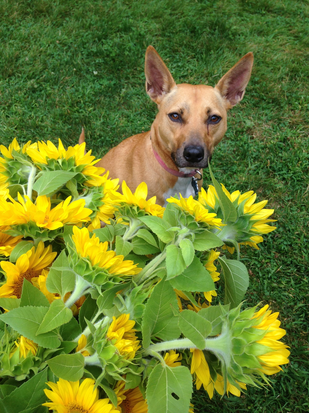 My grand dog is proud of her gorgeous bunches of sunflowers.