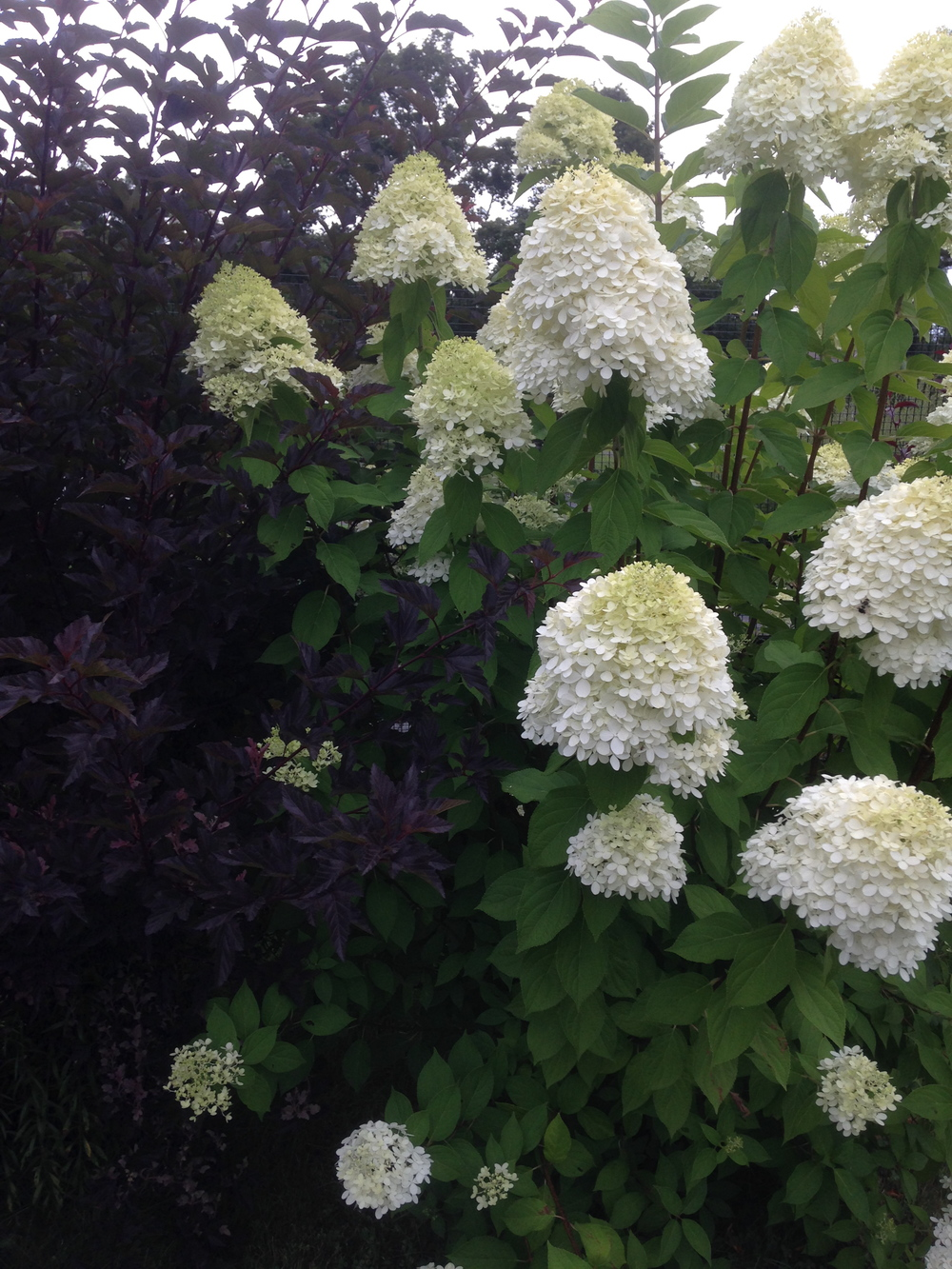 Love the smell of honey these hydrangeas drag in!