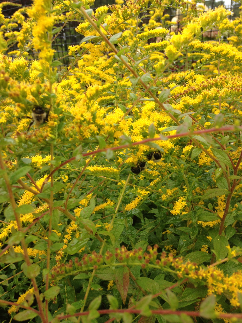 Three bumble bees loving the goldenrod.