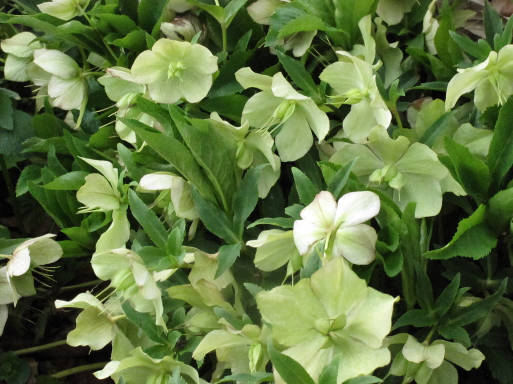 Hellebores are gorgeous in gardens, bouquets and arrangements. Please add them to your gardens.