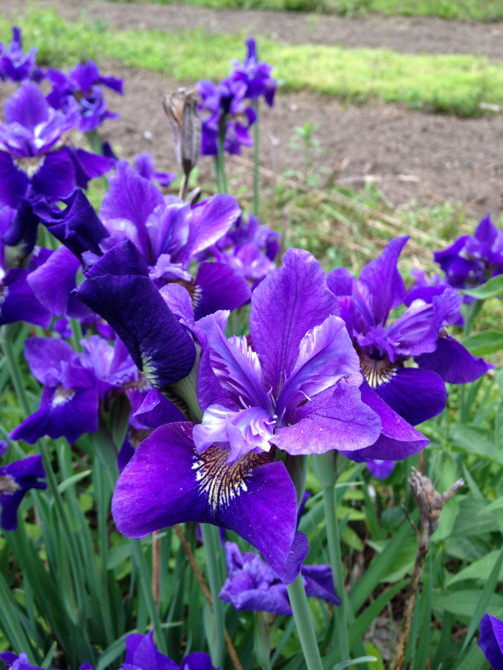 Siberian Iris at Butternut Gardens