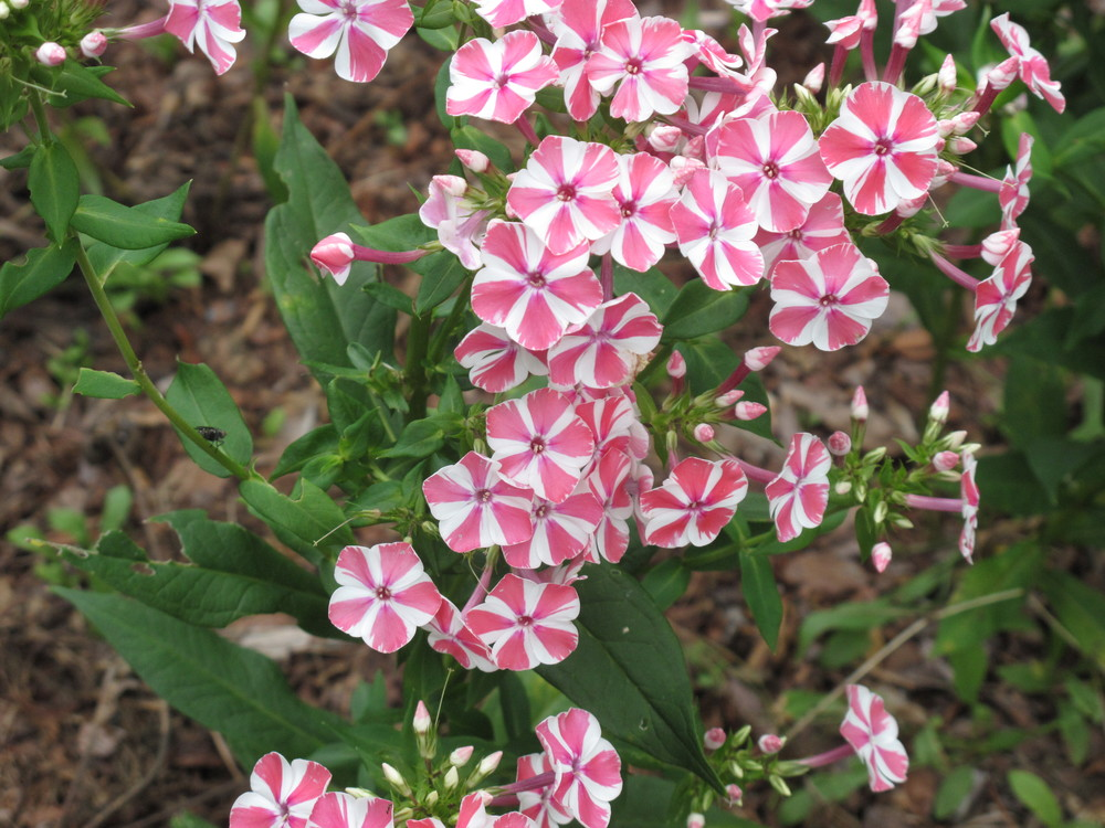 Phlox at Butternut Gardens