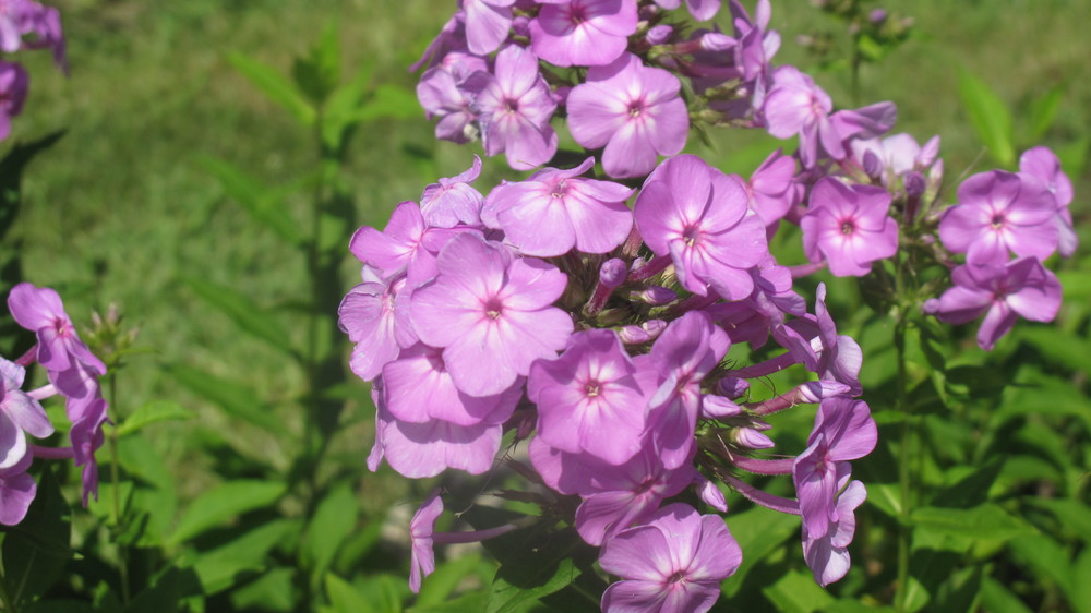 David's Lavender Phlox - one of the best for mildew-resistance