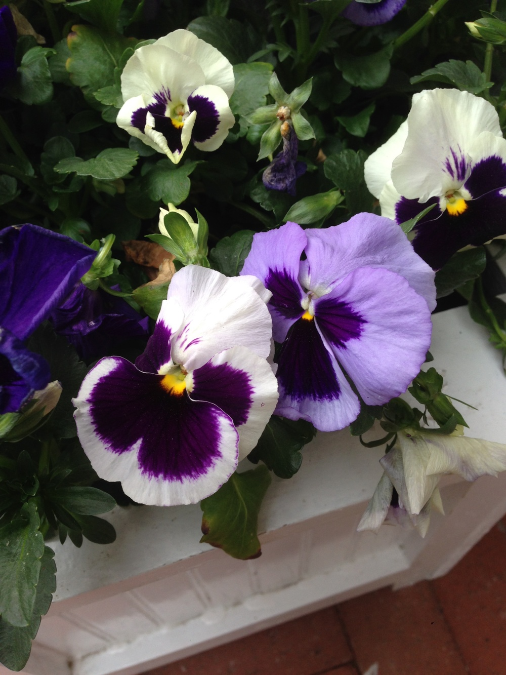 Pansies - harbingers of spring