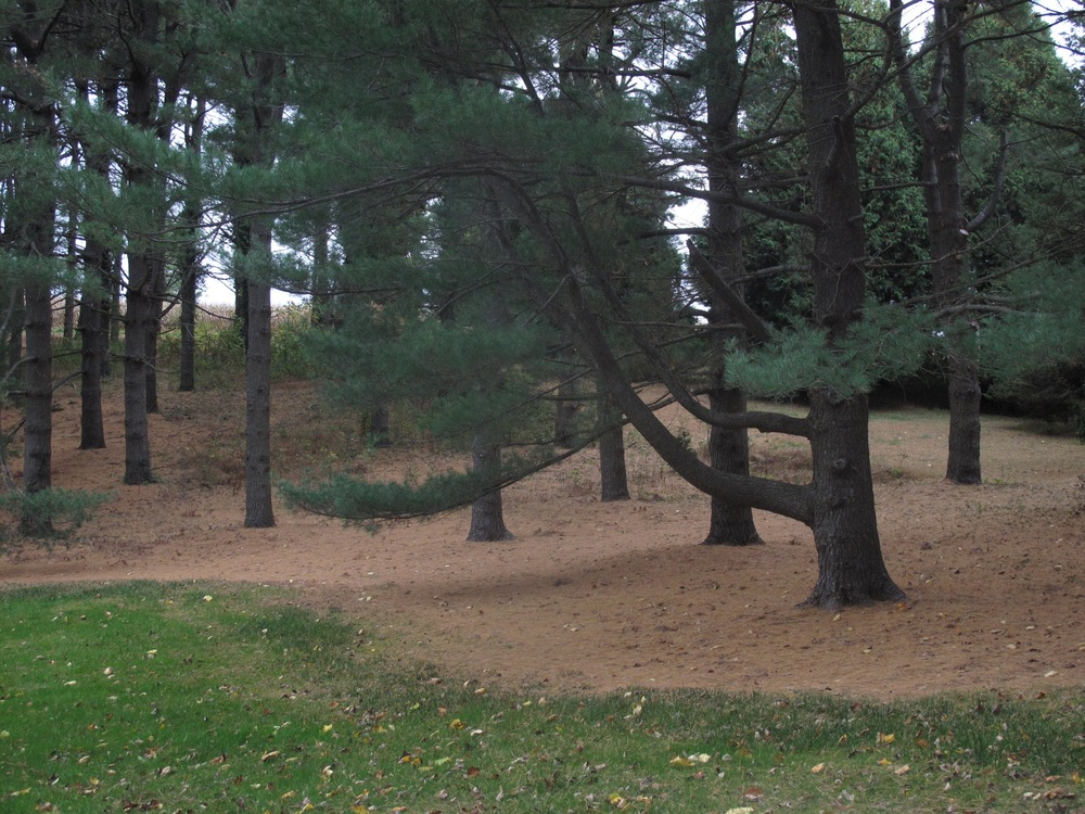 "Even ""evergreen"" pine trees drop needles each year. Here is a terrific example of a natural winter mulch, which will overwinter right where the trees need it most."
