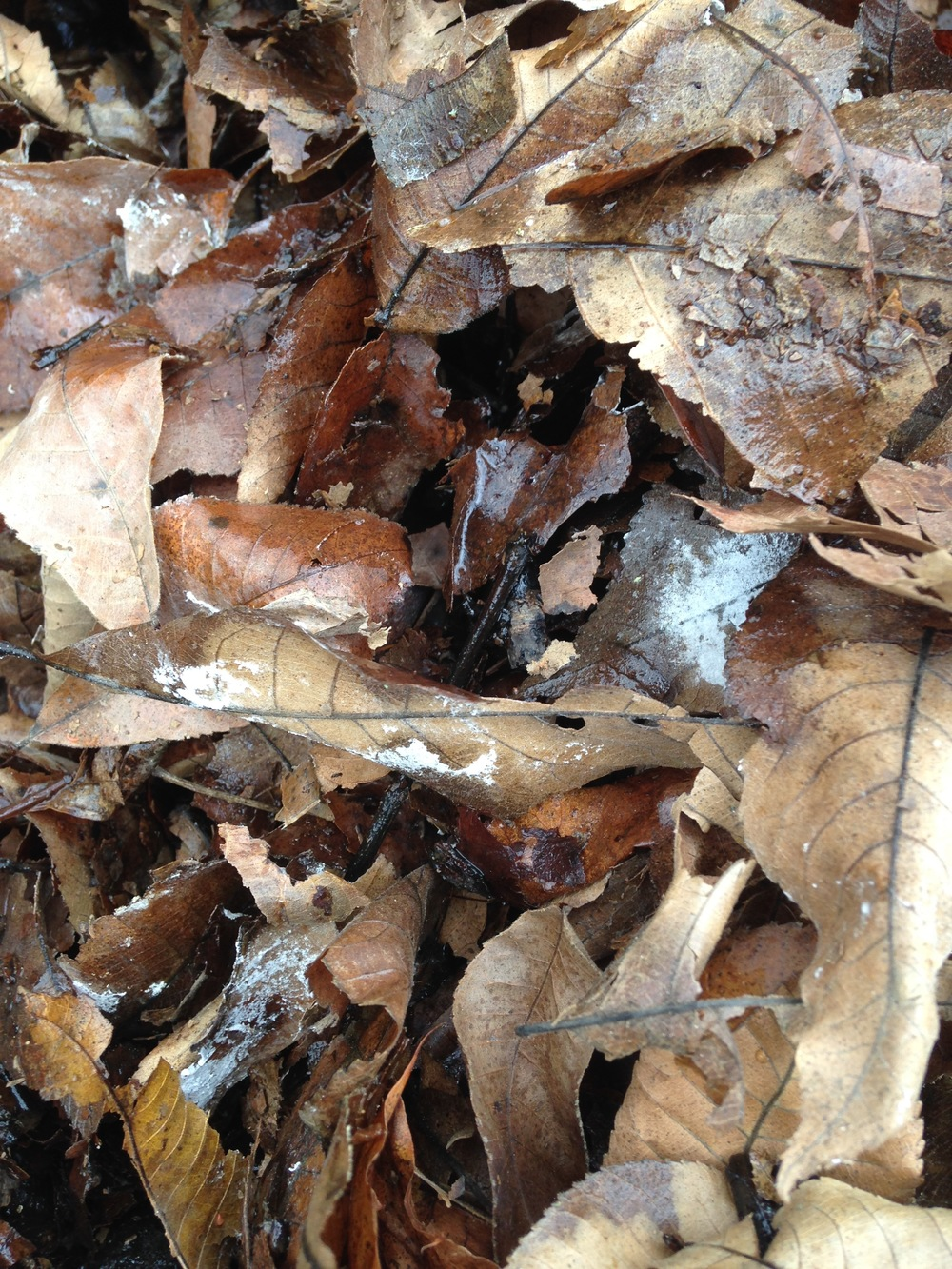 Mulched leaves, and some which blew into my leaf mulch pile, and are not chopped up, showing fungal activity (white ares) starting to decompose the leaves. This leaf mould stage is one step in the decomposition process and is particularly beneficial to perennial plants, shrubs and trees.