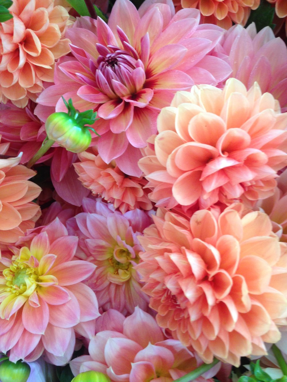 dahlias for blog.jpg