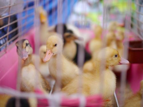 Istanbul ducklings