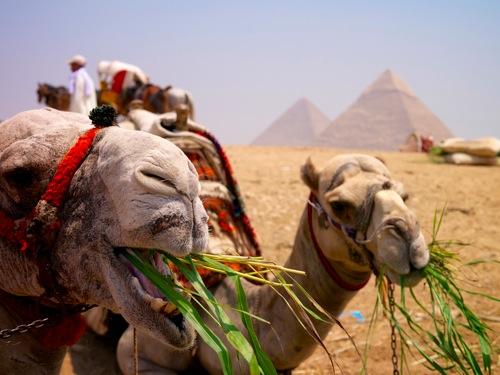 camelEatingGiza