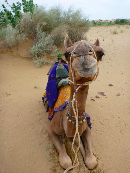 india Camel