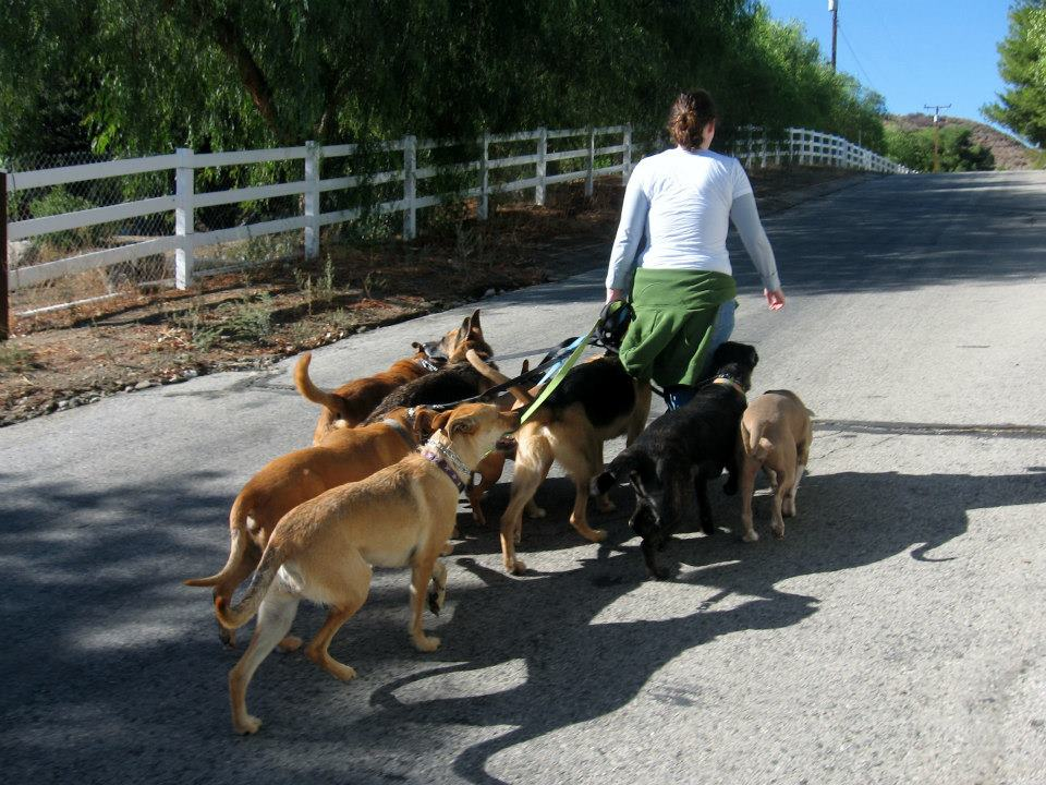 Prior to this moment, during a dog training seminar in October of 2012, I had only walked a maximum of three dogs at one time.