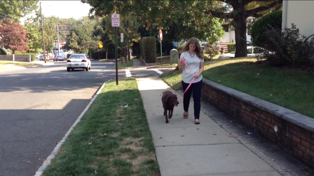 Zoe a chocolate lab, heeling with her owner. They went from a very stressful walk, with a lot of pulling and discomfort to a very calm heeling walk. Zoe's owner was not initially comfortable with using a prong collar, but soon after applying my method had absolutely no regrets. Read her testimonial by clicking  here .
