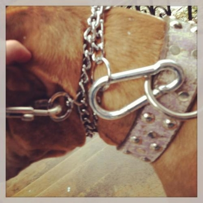 Prong collar safety includes securing the prong collar to a flat collar. If the prong collar should break away, the dog is still secured to the flat collar, via the clip.