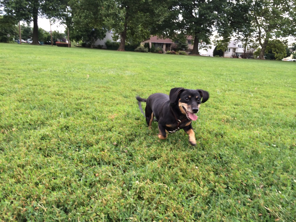 Dora running during her off leash advanced obedience training in the park with Good Karma Training