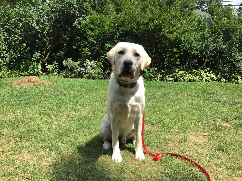 Archie the English Lab puppy just returned home from his e-collar training program. Check out how his owner felt about her experience on the testimonial page!
