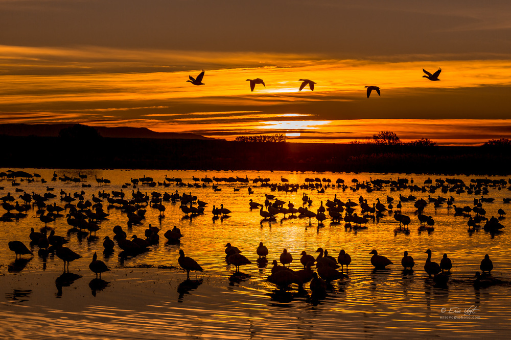 Golden Geese, Sunrise at Bosque Del Apache NWR