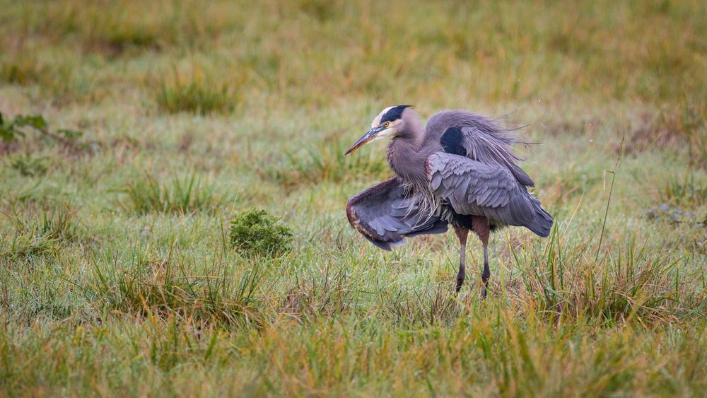 The Heron Shuffle