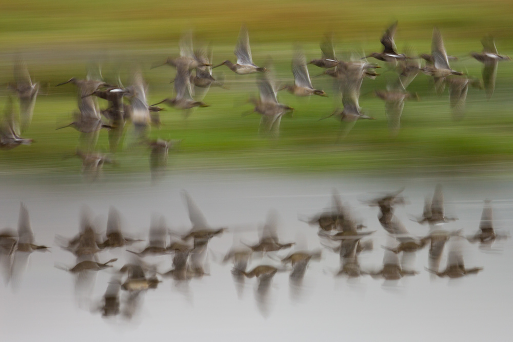 Darting Dowitchers