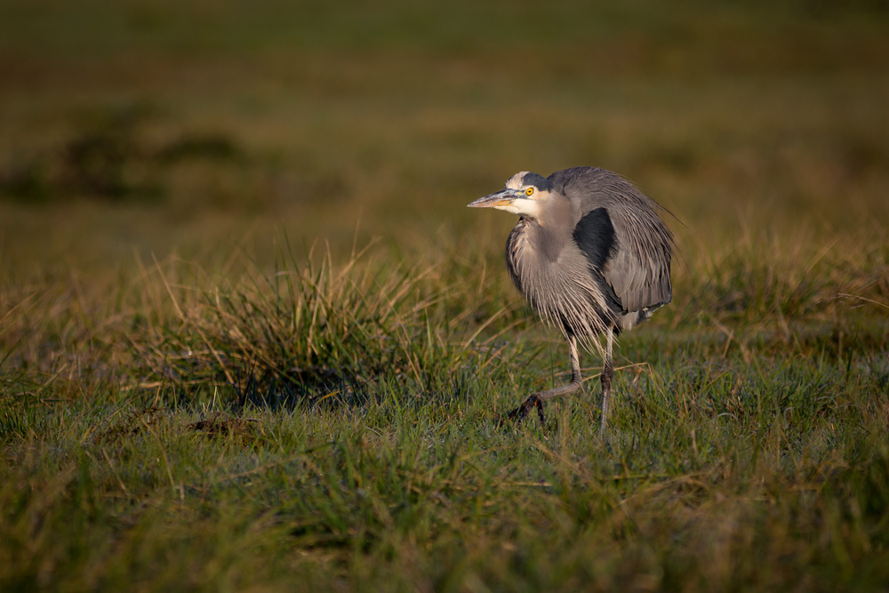 Heron on the Prowl