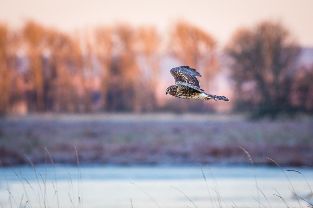 Harrier's Breakfast Run