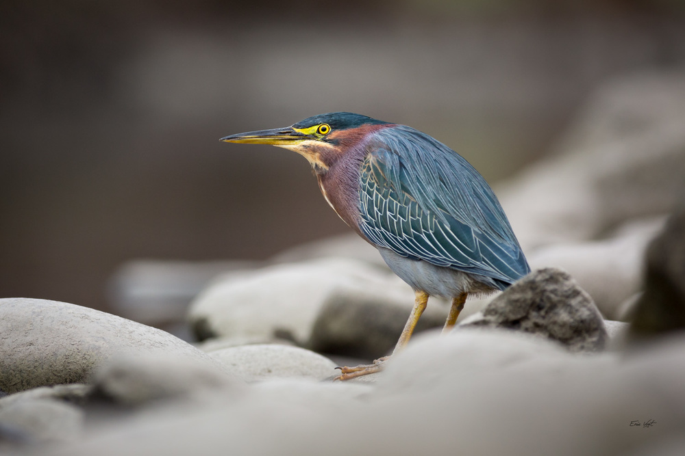 Green Heron on the Rocks