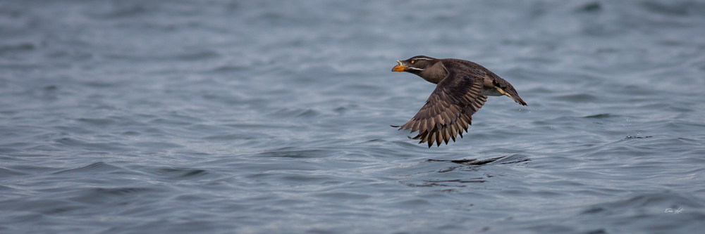 Rhinoceros Auklet In Flight