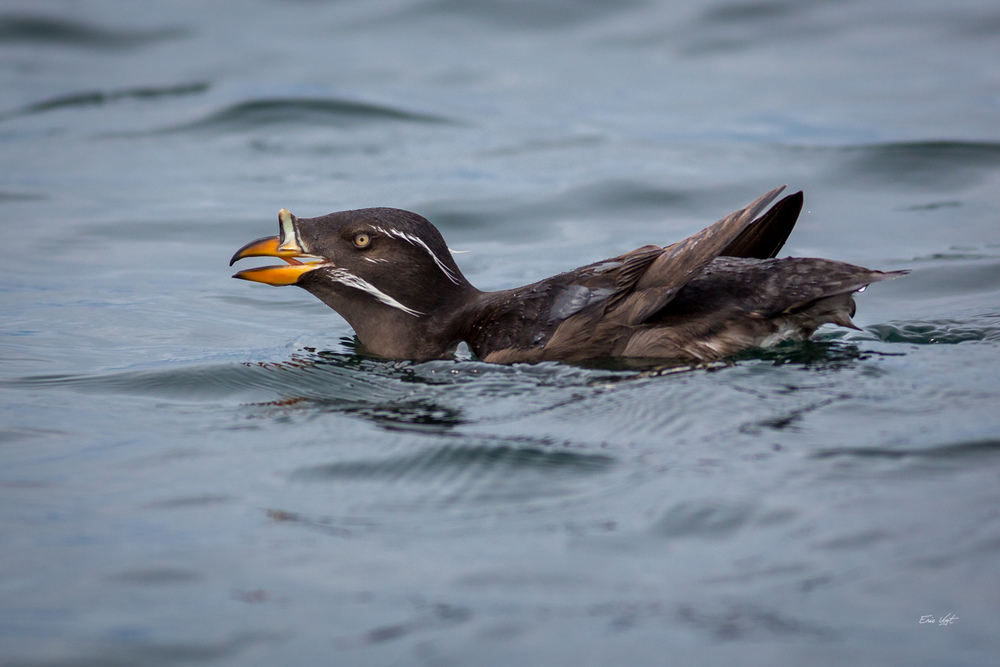 Auklet's Warning Call
